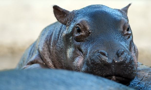 Warning! another cute animal picture! A two week old baby hippopotamus in Berlin zoo today.