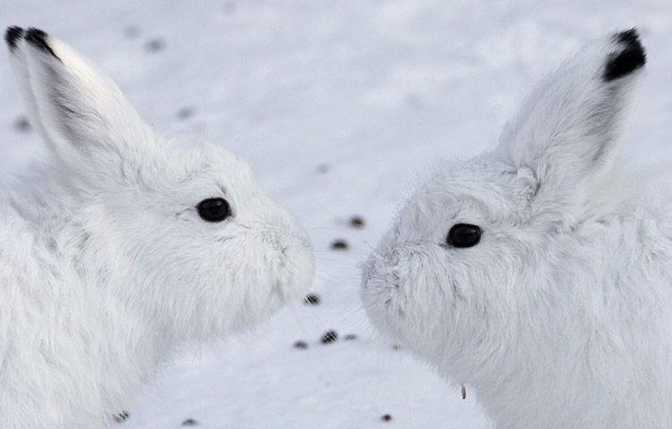 Красноярск, Россия: пара зайцев-беляков милуется