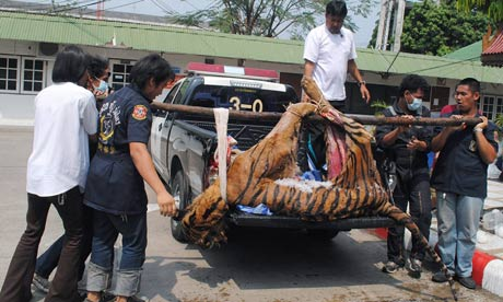 Thai officials load the body of a tiger onto a truck after arresting wildlife traffickers