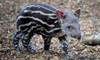 Dexter the tapir