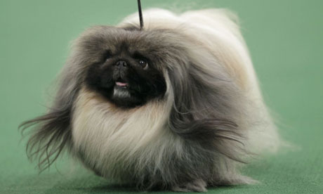 A Pekingese named Malachy