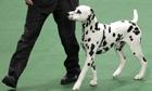 A Dalmatian named Ian
