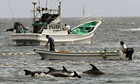 Fishermen drive bottle-nose dolphins into a net during their annual hunt off Taiji, Japan