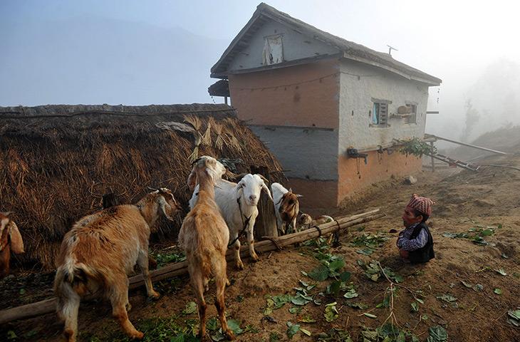 Un gran hombre minúsculo Dangi-looks-at-goats-at-h-003