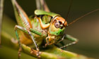 A Roesel's bush-cricket
