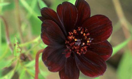Gardens: chocolate cosmos