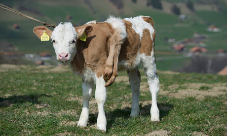 http://static.guim.co.uk/sys-images/Guardian/Pix/pictures/2012/3/29/1333059433850/six-legged-calf-switzerla-009.jpg