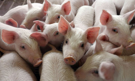 how to start a commercial pig farm
