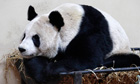 Tian Tian, a female giant panda sits in her enclosure at Edinburgh zoo in Scotland