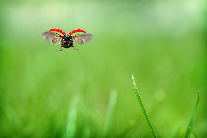 Week in Wildlife: Ladybug In Flight: Week in Wildlife