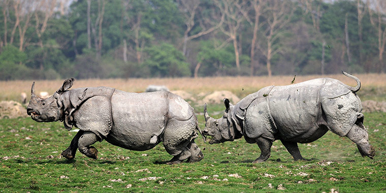 Week in Wildlife: Indian One-horned Rhino: Week in Wildlife