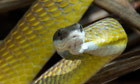 A golden tree snake