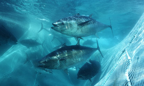tuna bluefin mexico