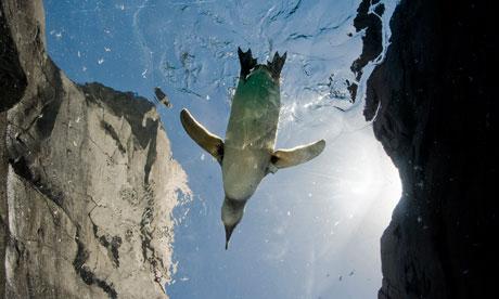A Magellanic penguin swims in the June Keyes Penguin Habitat in Long Beach
