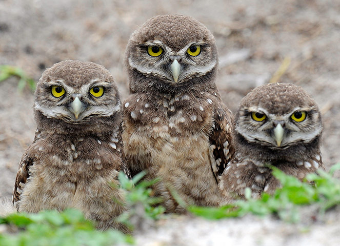 Week in Wildlife: Four-week-old Florida Burrowing Owlets