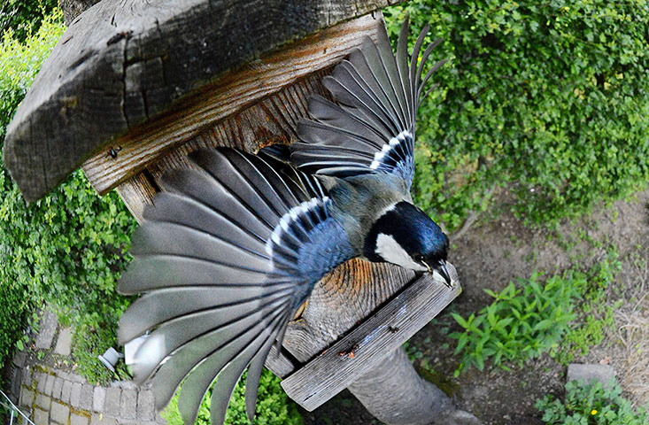 Week in Wildlife: A great tit leaves its nest box in a garden in Arnsberg, western Germany