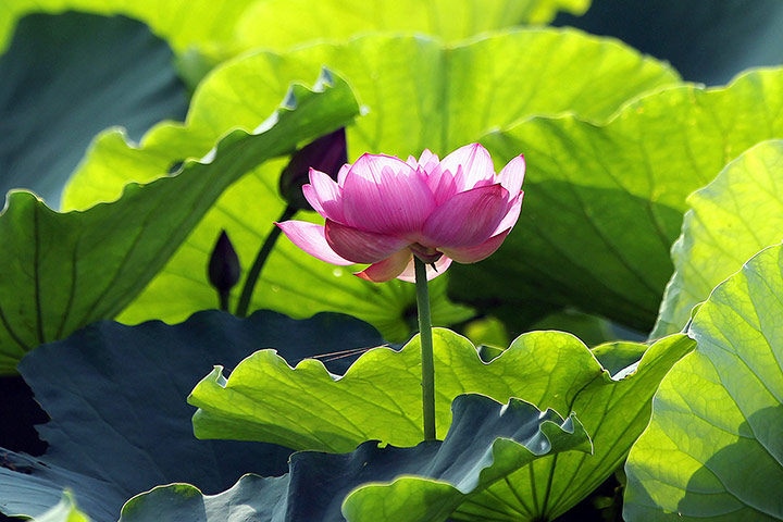 week in wildlife: Vietnam lotus season