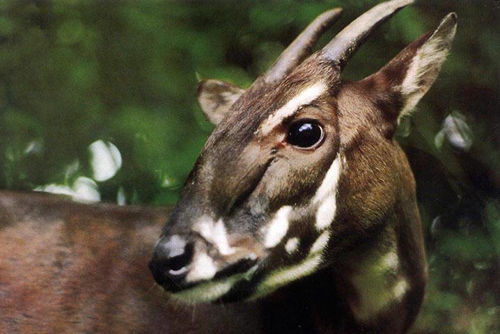 The saola 'Asian unicorn' in pictures   Environment   The Guardian