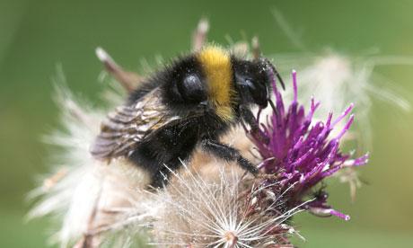 Bombus subterraneus, bumble bee