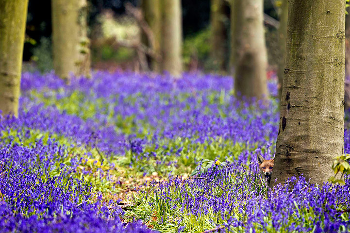 Week in wildlife: Vixen In Bluebells