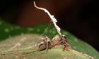 Zombie-ant parasitic fungus kept in check by hyperparasitic fungus