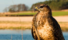 Buzzard trapping plan abandoned as government U-turns again