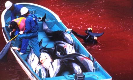 Japanese fishermen riding a boat loaded with slaughtered dolphins at acove in Taiji harbour