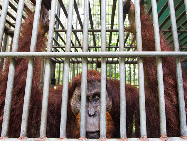 Leuser and Gober: Sumatran orangutang struggling against deforstation in Aceh Indonesia