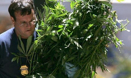 Medical marijuana raid