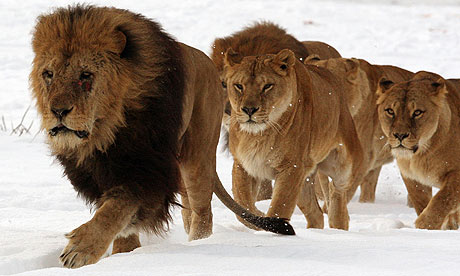 A pride of lions tip toe through the snow
