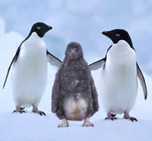 Adelie penguins with chick