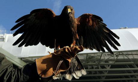 Rufus, the Wimbledon hawk