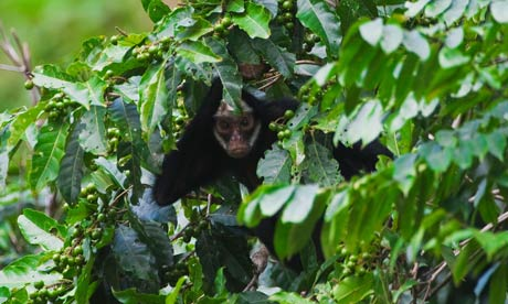 White-cheeked spider monkeys