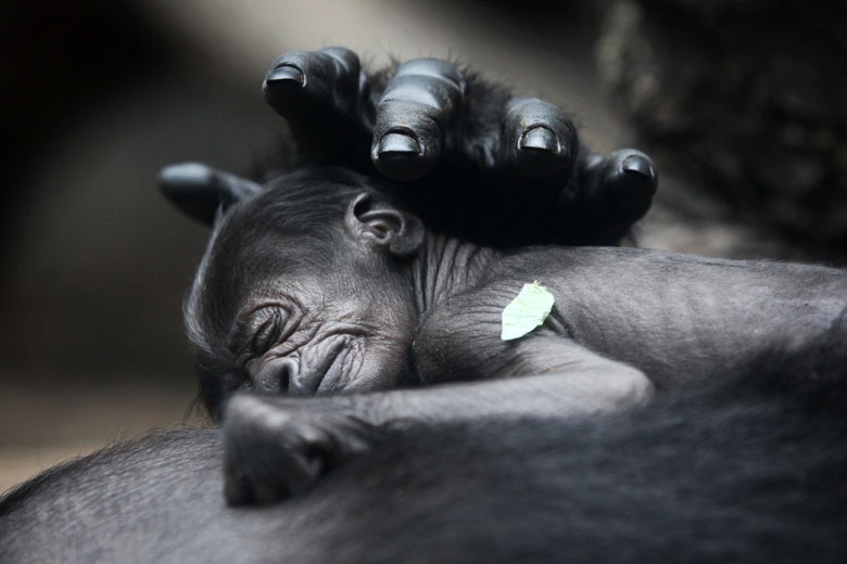 A baby gorilla born on 10 July at Frankfurt zoo sleeps on the chest of  its mother