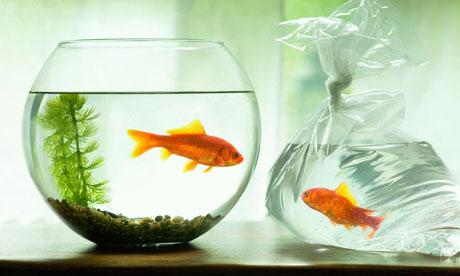 Goldfish in plastic bag facing goldfish in bowl