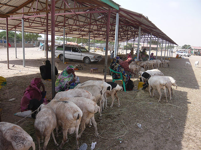Somaliland : breeding and raising livestock industry