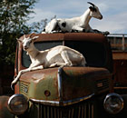 Goats rest on a vintage truck at Caribou Crossing in Yukon