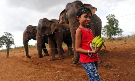 A Sri Lankan child holds bananas to feed wild elephants, separated by an electric fence at the Udawalawa Wildlife Sanctuary, in Udawalawa, Sri Lanka, today.