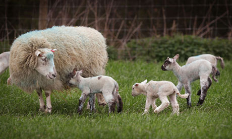 A ewe and newborn lambs