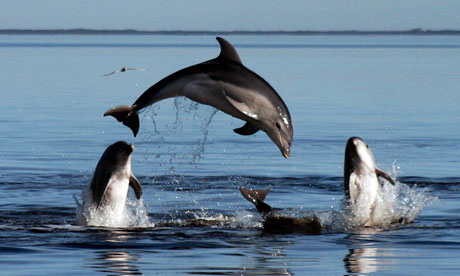 Tursiops Australis, a new species of dolphin discovered in 2011 in Australia