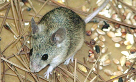 Mus cypriacus, the Cypriot mouse, which was identified in 2006