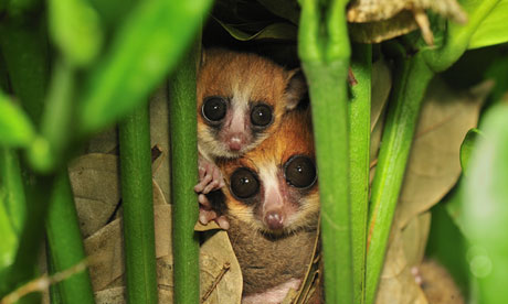 Goodman's mouse lemurs