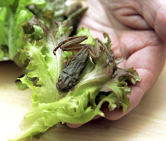 Foreign objects: A sealed plastic bag of lettuce containing a small frog in Ashkelon