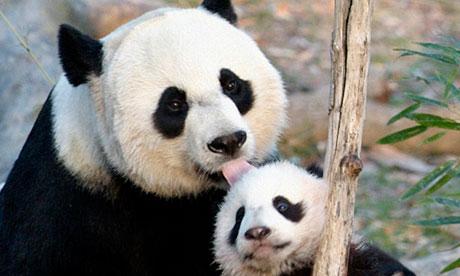 Giant panda Cub Tai Shan