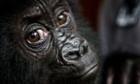 Baby gorilla Isangi, a poached 9-month-old Grauer's gorilla, that was moved to Virunga National Park headquarters at Rumangabo, in the Demoncratic Republic of Congo to be quarantined for a month.