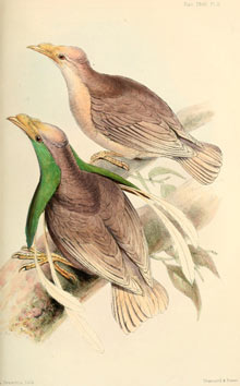 The new bird of paradise that Wallace discovered, Wallace's standard-wing