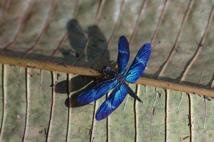 Yasuni wildlife: dragonflies