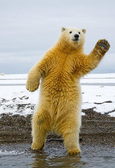 http://static.guim.co.uk/sys-images/Guardian/Pix/pictures/2012/9/7/1347019467006/Polar-Bear-Brooks-Range-A-008.jpg