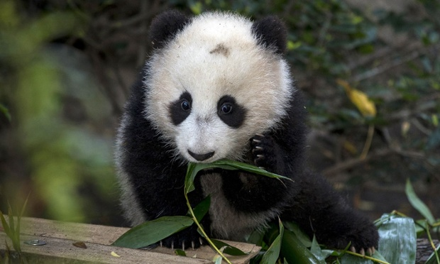 Baby steps: Lucky visitors to San Diego Zoo caught their first glimpse of panda cub Xiao Liwu yesterday. The five-month-old cub ventured into the outside habitat, climbing through the bamboo, all by himself.