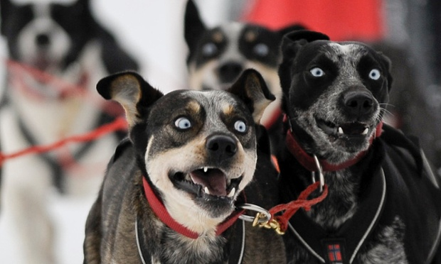 The photographer has captured an extraordinary expression in these dogs taking part in the Border Rush Race in The Giant Mountains National Park, in Jakuszyce. Border Rush is an international sled dog race run starting in Jakuszyce on the Czech-Poland border.